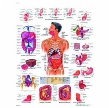 Lamina 3B Aparato Digestivo