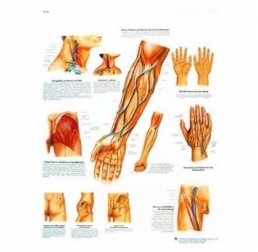Lamina 3B Curso de los vasos y nervios de significacion clinica